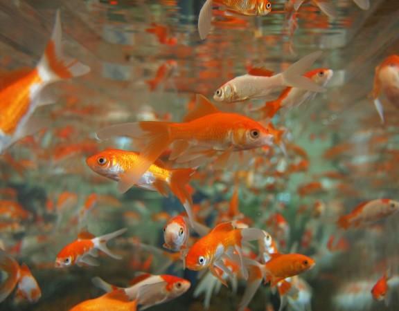 goldfish-178584